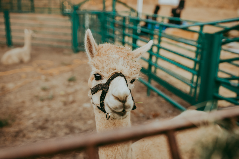 Elopement Photography, lama in a pen